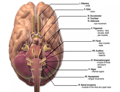 12 cranial nerves (labled for non commercial reuse)